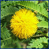 A bright yellow puffball flower