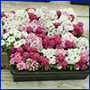 Small pallet of plants covered in white or pink flowers