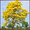 Tabebuia aurea, yellow trumpet tree