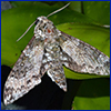 Mottle gray and white moth on green leaves