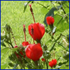 Red flowers of Turk's cap shrub