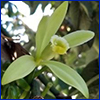 Pale green orchid flower of vanilla plant