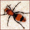female velvet ant