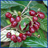 Dark red berry-like fruits of wild coffee