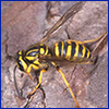 Southern yellowjacket; photo by Lyle Buss, UF/IFAS.