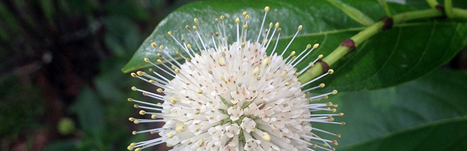 The white pin-cushion-looking flower of buttonbush