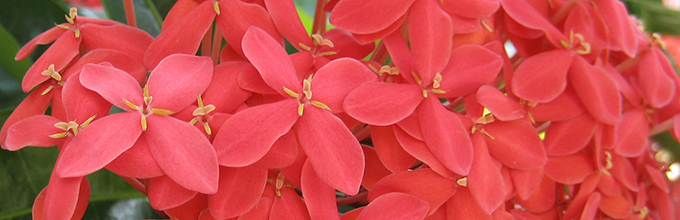 Close view of red-orange flowers of ixora, which grows in South Florida