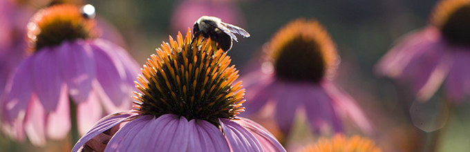 A bee on a purple coneflower up close