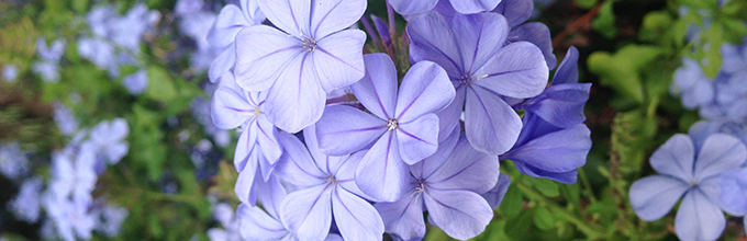 indigo-colored plumbago flowers