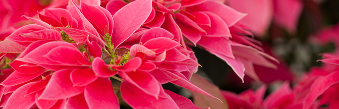 Love You Pink poinsettia cultivar is salmon colored