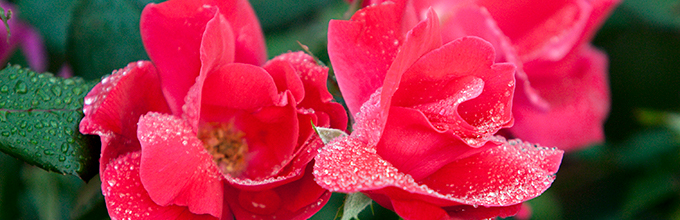Pinkish red roses covered in dewdrops photo by Tyler Jones, UF/IFAS