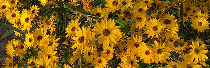 A profusion of yellow daisy like flowers