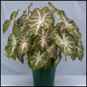 Berry Patch caladium