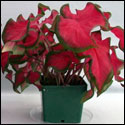 Cherry Tart caladium