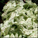Cranberry Star caladium