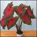 Firecracker Red caladium