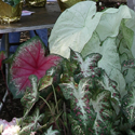 Caladiums at Floriculture Field 
