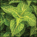 Coleus 'Electric Lime'