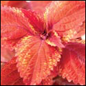 Coleus 'Big Red Judy'