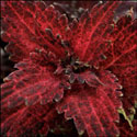 Coleus 'Frilly Milly'