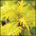 Coleus 'Lemon Sunsation'