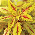 Coleus 'Pineapple Splash'