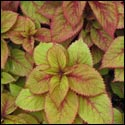 Royal Glissade Coleus