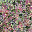 Coleus 'Splish Splash'