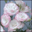 double joy pink rim lisianthus