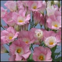 pink frost lisianthus