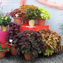 New coleus cultivars from UF