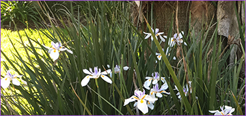 African irises in bloom at the base of a palm tree