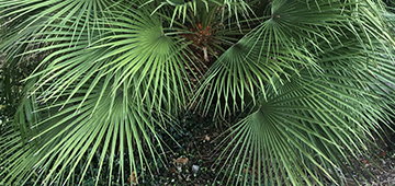 Large green palm fronds