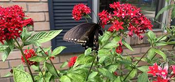 A mostly black butterfly on red flowers