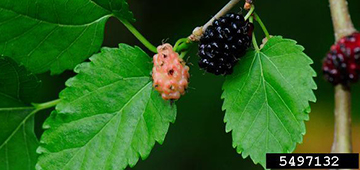 Mulberry with fruit photo by Vern Wilkins, Indiana University, Bugwood.org