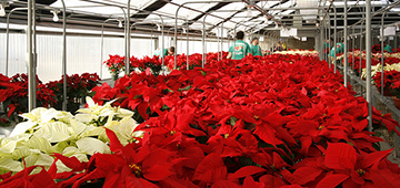 Hundreds of poinsettias in a greenhouse