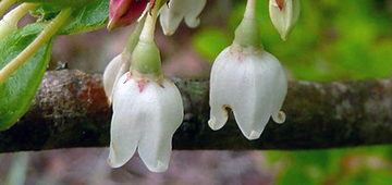 Two bell-like flowers hanging from twig.