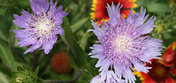 Light purple Stokes' aster flowers with fringed petals