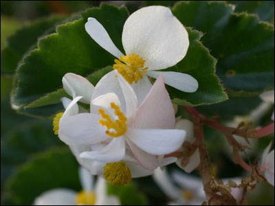 Begonia blossom close-up