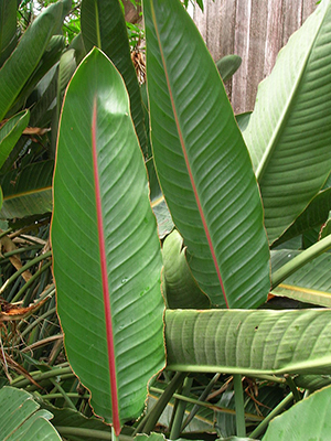Bird of paradise foliage