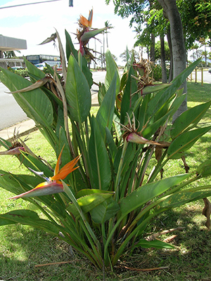 Bird of paradise plant in Hawaii