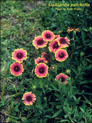 Red and yellow blanket flower