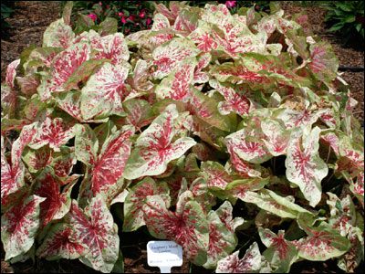 Caladium 'Raspberry Moon'