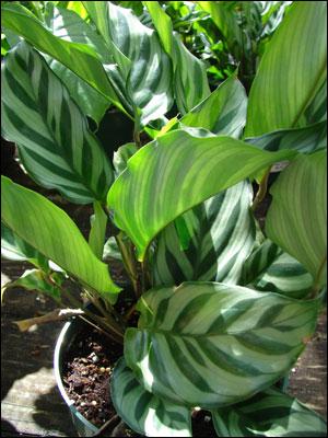 Plant id flowers and foliage calathea florida master for Prayer palm plant