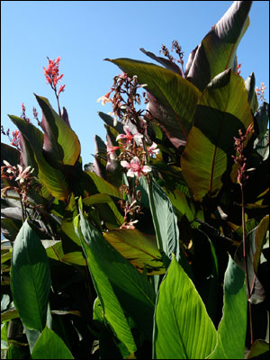 Canna plant with green foliage