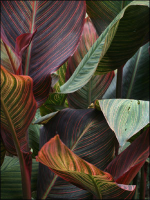 Canna foliage in red