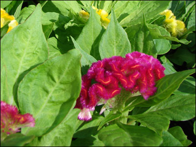 Celosia flower and foliage