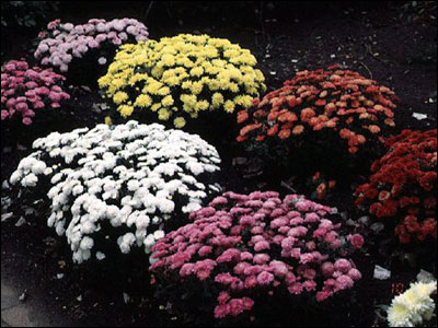 Chrysanthemum plants with different colored flowers