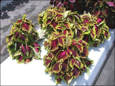 garden design garden design with growing coleus plant indoors, Beautiful flower