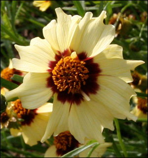 Cream and burgundy coreopsis blossom